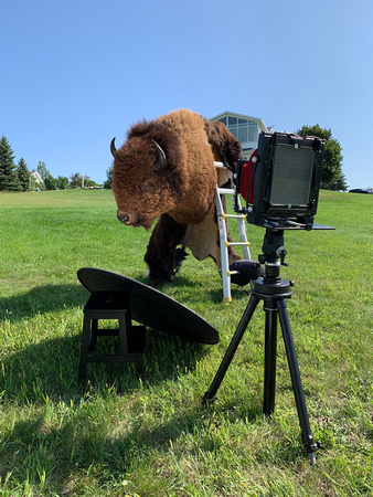 Wet Plate Collodion of Bison Buffalo