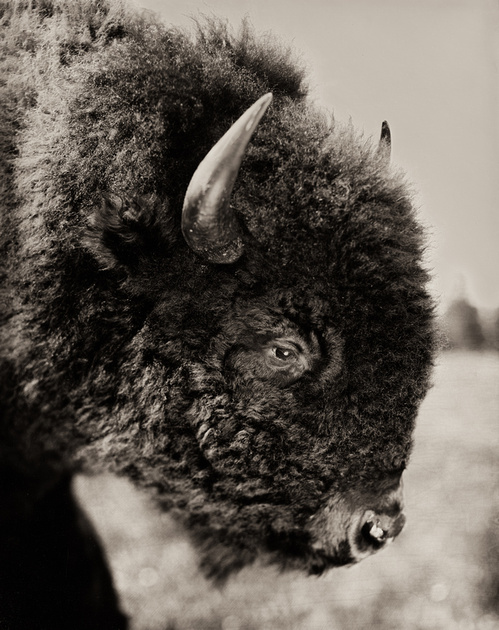 Bison Buffalo Wet Plate Collodion